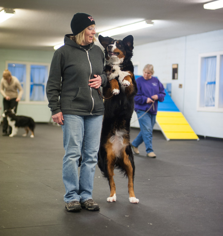 Description of . Andrea Mata and her 11-month-old Bernese Mountain Dog called Zardoz work on behavioral skills at the kennel club. (Sun photo by Holly Mahaffey/@hollymahaffey)