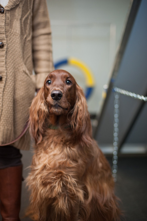 Description of . Canine Good Citizen program attendee Maddy Rose, a 2 1/2 year-old Irish Setter belonging to Sandy Herzog, waits for instructions at the kennel club class. (Sun photo by Holly Mahaffey/@hollymahaffey)